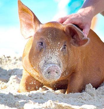 Swimming Pigs Beach