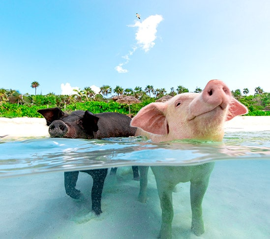 Swimming Pigs. Rose Island, Bahamas.